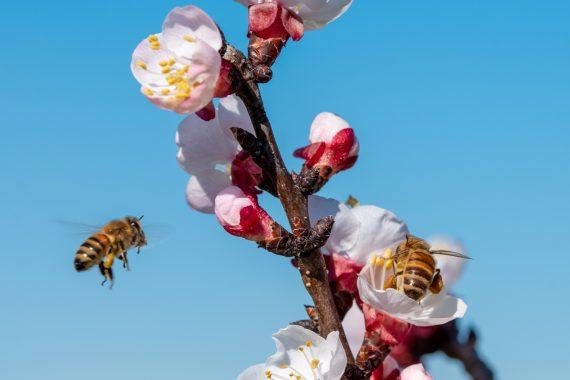api sui fiori in primavera