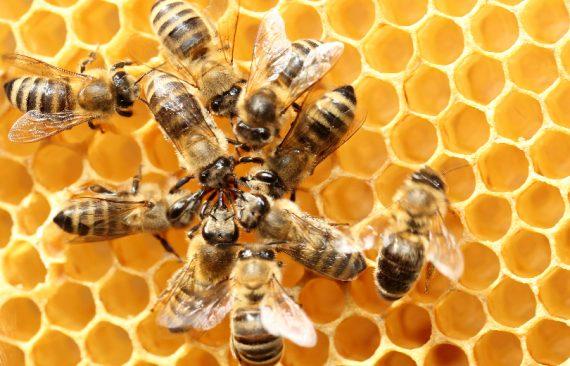 cover danza delle api